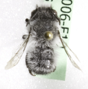 (Megachile cryobapta - CCDB-10006 F10)  @13 [ ] Copyright (2010) Laurence Packer York University