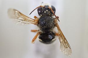 (Anthidium gayi - CCDB-28313 C07)  @11 [ ] CreativeCommons - Attribution by Laurence Packer (2016) Laurence Packer York University