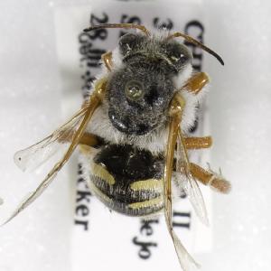 (Anthidium aymara - CCDB-09981 E09)  @11 [ ] Copyright (2011) Laurence Packer York University