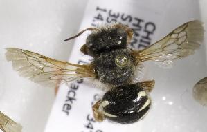 (Anthidium rubripes - CCDB-09981 E11)  @11 [ ] Copyright (2011) Laurence Packer York University