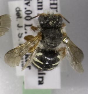 (Anthidium rubripes - CCDB-09981 E12)  @11 [ ] Copyright (2011) Laurence Packer York University