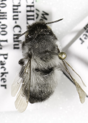 (Megachile sesquialba - CCDB-09981 F04)  @13 [ ] Copyright (2011) Laurence Packer York University