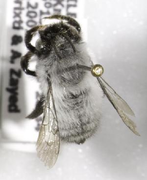 (Megachile cryobapta - CCDB-09981 F06)  @13 [ ] Copyright (2011) Laurence Packer York University
