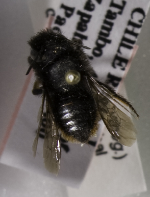 (Megachile flammiventris - CCDB-09981 G01)  @13 [ ] Copyright (2011) Laurence Packer York University