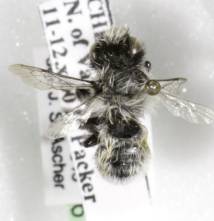 (Megachile cryobapta/saulcyi - CCDB-09981 G05)  @13 [ ] Copyright (2011) Laurence Packer York University