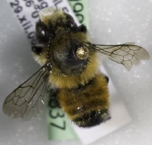 (Megachile semirufa - CCDB-09981 G06)  @13 [ ] Copyright (2011) Laurence Packer York University