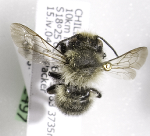 (Megachile grandibarbis - CCDB-09987 B11)  @13 [ ] Copyright (2011) Laurence Packer York University
