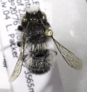 (Megachile saulcyi - CCDB-09987 C06)  @13 [ ] Copyright (2011) Laurence Packer York University