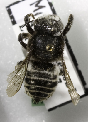 (Megachile aricensis - CCDB-09987 C07)  @13 [ ] Copyright (2011) Laurence Packer York University