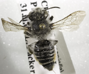 (Megachile ecuadoria - CCDB-09987 C08)  @13 [ ] Copyright (2011) Laurence Packer York University