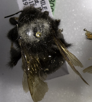 (Bombus funebris - CCDB-09987 F01)  @13 [ ] Copyright (2011) Laurence Packer York University