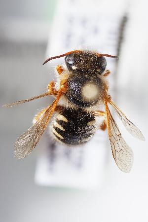 (Anthidium gayi - CCDB-28315 E03)  @11 [ ] CreativeCommons - Attribution (2015) Laurence Packer York University