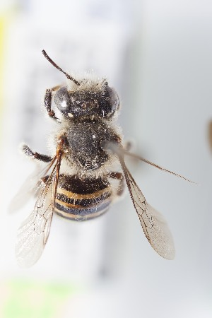 (Anthidium spatulatum - CCDB-28315 E09)  @11 [ ] CreativeCommons - Attribution (2015) Laurence Packer York University