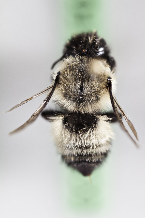(Megachile spCHILZ - CCDB-28316 F01)  @11 [ ] CreativeCommons - Attribution by Laurence Packer (2015) Laurence Packer York University