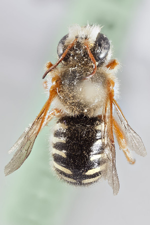 (Anthidium gayi - CCDB-28316 F10)  @11 [ ] CreativeCommons - Attribution by Laurence Packer (2015) Laurence Packer York University