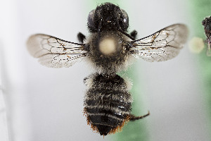 (Megachile CHILLP01 - CCDB-28316 G08)  @11 [ ] CreativeCommons - Attribution by Laurence Packer (2015) Laurence Packer York University