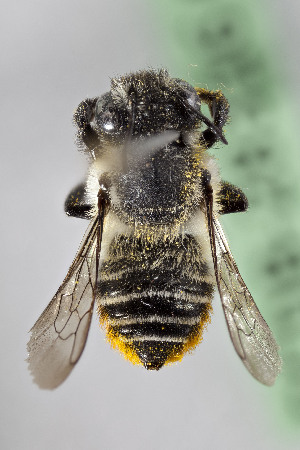 (Megachile CHILLP02 - CCDB-28316 G12)  @11 [ ] CreativeCommons - Attribution by Laurence Packer (2015) Laurence Packer York University