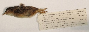 (Cistothorus platensis - MNHN_6011)  @11 [ ] c (2016) Museo Nacional de Historia Natural Museo Nacional de Historia Natural