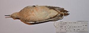 (Tryngites - MNHN_6055)  @11 [ ] c (2016) Museo Nacional de Historia Natural Museo Nacional de Historia Natural