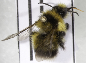 (Bombus MNG32 - CCDB-09808 D02)  @11 [ ] CreativeCommons - Attribution Non-Commercial Share-Alike (2012) Packer Collection York University York University