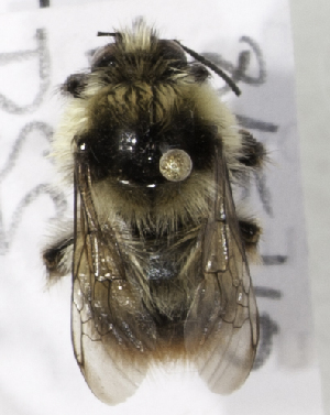 (Bombus aff. mendax - CCDB-09808 D12)  @13 [ ] CreativeCommons - Attribution Non-Commercial Share-Alike (2012) Packer Collection York University York University