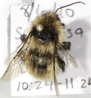 (Bombus filchnerae - CCDB-09808 E04)  @13 [ ] CreativeCommons - Attribution Non-Commercial Share-Alike (2012) Packer Collection York University York University