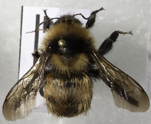 (Bombus filchnerae - CCDB-09808 F05)  @13 [ ] CreativeCommons - Attribution Non-Commercial Share-Alike (2012) Packer Collection York University York University