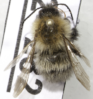 (Bombus schrencki - CCDB-09808 G11)  @13 [ ] CreativeCommons - Attribution Non-Commercial Share-Alike (2012) Packer Collection York University York University