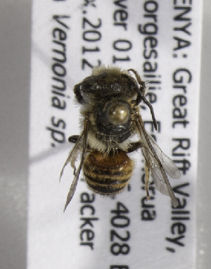 (Megachile KENLP4 - CCDB-15266 C06)  @12 [ ] CreativeCommons - Attribution Non-Commercial Share-Alike (2012) Packer Collection York University York University