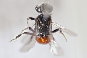 (Sphecodes sp - CCDB-24580 F12)  @11 [ ] CreativeCommons - Attribution by Laurence Packer (2015) Laurence Packer York University