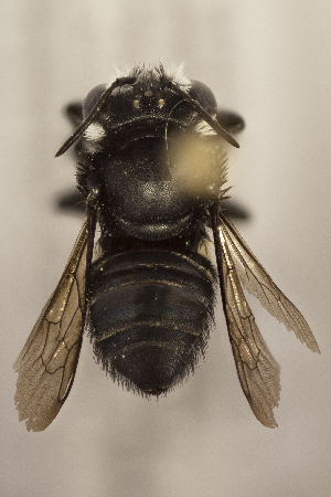 (Megachile minima - CCDB-24583 H01)  @11 [ ] CreativeCommons - Attribution by Laurence Packer (2016) Laurence Packer York University