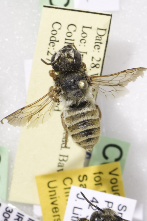 (Megachile sanguinipes - CCDB-14514-B12)  @11 [ ] CreativeCommons - Attribution Non-Commercial Share-Alike (2012) Packer Collection York University York University