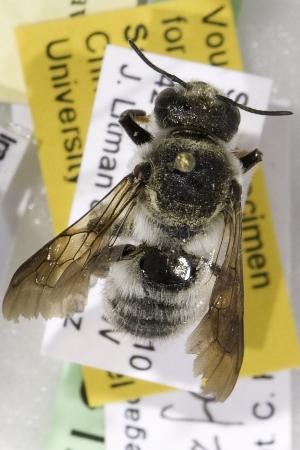(Megachile lefebvrei - CCDB-14514-C12)  @11 [ ] CreativeCommons - Attribution Non-Commercial Share-Alike (2012) Packer Collection York University York University