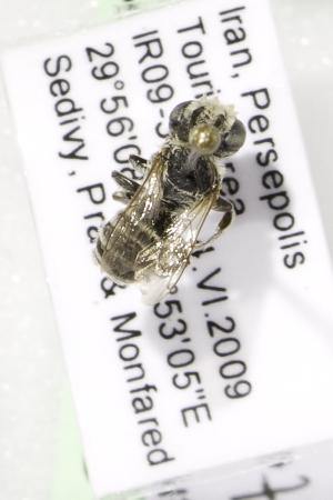 (Megachile cf. fertoni - CCDB-14514-D06)  @13 [ ] CreativeCommons - Attribution Non-Commercial Share-Alike (2012) Packer Collection York University York University