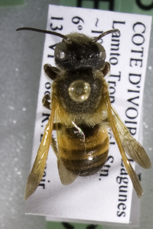 (Megachile CDI01 - CCDB-14515-C03)  @11 [ ] CreativeCommons - Attribution Non-Commercial Share-Alike (2012) Packer Collection York University York University