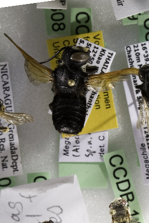(Megachile odontophora - CCDB-14515-C08)  @11 [ ] CreativeCommons - Attribution Non-Commercial Share-Alike (2012) Packer Collection York University York University