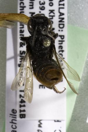 (Megachile Callomegachile THA01 - CCDB-14515-C09)  @11 [ ] CreativeCommons - Attribution Non-Commercial Share-Alike (2012) Packer Collection York University York University