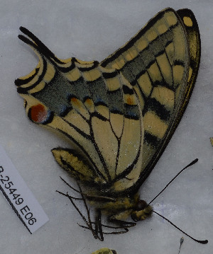 (Papilio saharae - CCDB-25449 E06)  @11 [ ] all rights reserved (2015) Zoological Institute of the Russian Academy of Science Zoological Institute of the Russian Academy of Science
