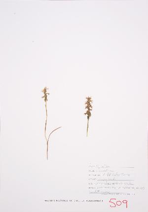 (Spiranthes romanzoffiana - UD 032)  @11 [ ] Copyright (2009) Steven Newmaster University of Guelph BIO Herbarium