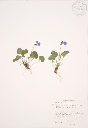 (Viola nephrophylla - JAG 0463)  @11 [ ] Copyright (2009) Steven Newmaster University of Guelph BIO Herbarium