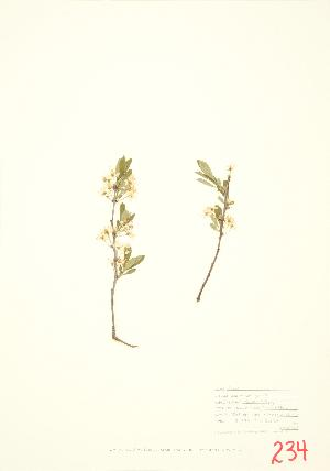 (Prunus pumila var. pumila - MMD 005)  @11 [ ] Copyright (2009) Steven Newmaster University of Guelph BIO Herbarium