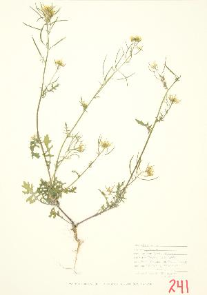 (Erucastrum - JEM 020)  @11 [ ] Copyright (2009) Unspecified University of Guelph BIO Herbarium