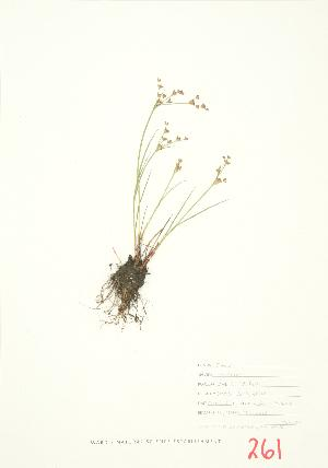 (Juncus articulatus - JEM 024)  @11 [ ] Copyright (2009) Steven Newmaster University of Guelph BIO Herbarium
