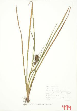 (Sparganium emersum - ABM 034)  @11 [ ] Copyright (2009) Steven Newmaster University of Guelph BIO Herbarium