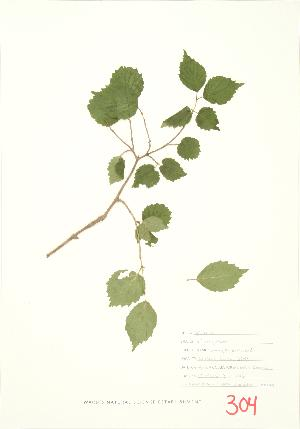 ( - MMD 021)  @11 [ ] Copyright (2009) Steven Newmaster University of Guelph BIO Herbarium
