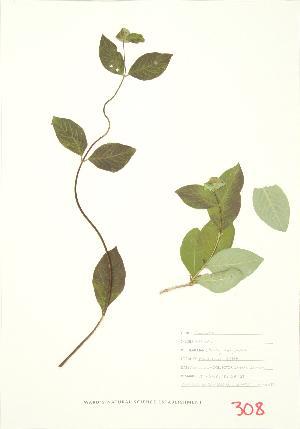 (Lonicera hirsuta - MMD 033)  @11 [ ] Copyright (2009) Steven Newmaster University of Guelph BIO Herbarium