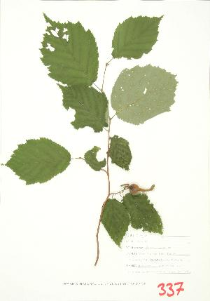 (Corylus cornuta - JEM 074)  @11 [ ] Copyright (2009) Steven Newmaster University of Guelph BIO Herbarium