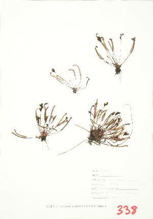 (Drosera linearis - JEM 084)  @11 [ ] Copyright (2009) Steven Newmaster University of Guelph BIO Herbarium