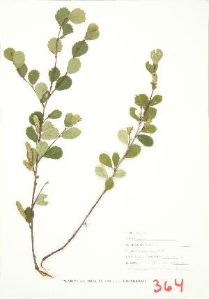 (Betula pumila - JEM 056)  @11 [ ] Copyright (2009) Steven Newmaster University of Guelph BIO Herbarium