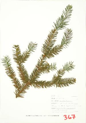 (Taxus canadensis - JEM 050B)  @11 [ ] Copyright (2009) Steven Newmaster University of Guelph BIO Herbarium